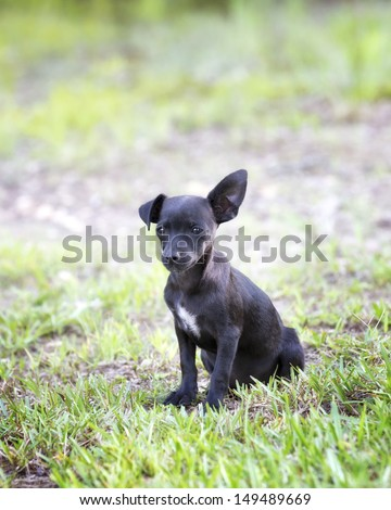 Black chihuahua puppy with floppy ear