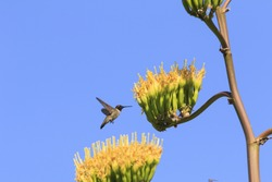 Black-chinned Hummingbird at Century Plant