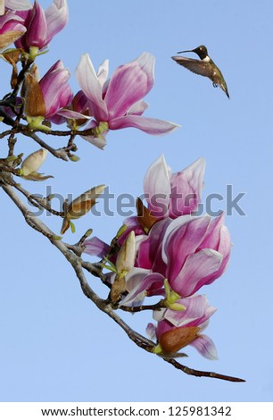 Black-chinned Hummingbird Hovering Over the Tulip Tree Blossom