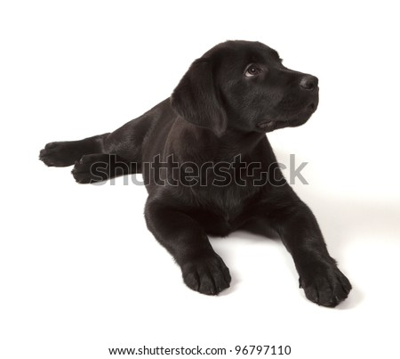 Black-Chocolate Labrador Retriever Puppy 3 months old isolated on white background