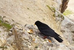 Black chough on the rock eating peaces of bread