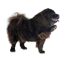 black chow chow in front of white background