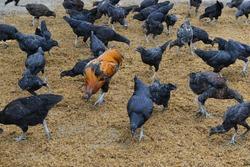 black cock eating food in field