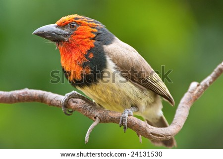 Black collared barbet adult breeding male on branch