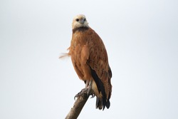 Black-collared Hawk (Busarellus nigricollis, a common bird of prey in the Pantanal