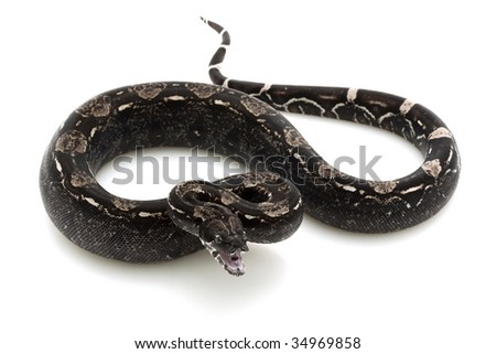 columbian red tail boa. Columbian red-tailed boa