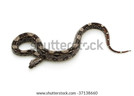 black Columbian red-tailed boa (Boa constrictor constrictor) isolated on white background