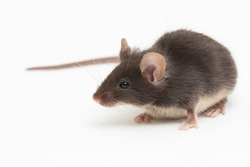 Black common house mouse isolated on white background