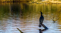 black cormorant sitting on a tree branch above the water, beautiful water scene in nature