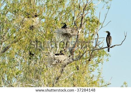 black cormorants (phalacrocorax carbo) - stock photo