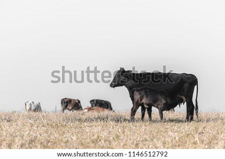 Black cow breastfeeding a little calf on a drought pasture of a farm and other cows unfocused on background. Suckling calf.