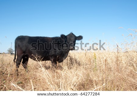 Black cow in a pasture on a midwestern US farm