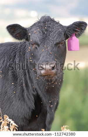 Black cow with burrs and stickers on her face from grazing in the mountains.