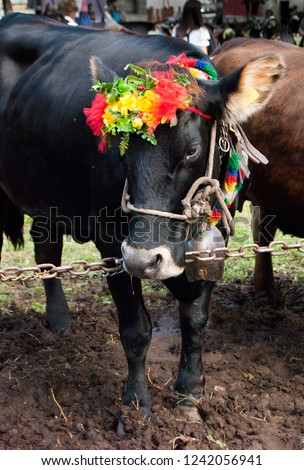 Black cow with colored and floral crown on the head #1242056941