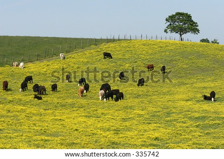 Black Cows in a Field of Yellow
