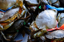 Black crab, giant mud crab. crab that lives in the sea. Animal economically preferable to cooked food.