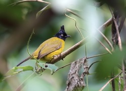 Black-crested bulbul .The black-crested bulbul is a member of the bulbul family of passerine birds. It is found from the Indian subcontinent to southeast Asia.