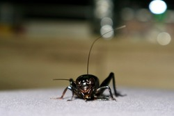 Black cricket walking on fabric  Insects with wings and black body