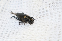 Black crickets walk on white fabric, black winged insects and body.