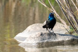 Black crow bird by the water of a public park pond