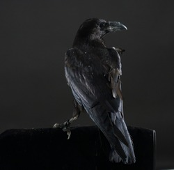 Black crow bird on a black background. Black feathers. Black raven