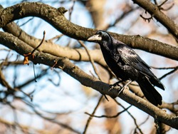 Black crow bird on a tree branch. Natural background.