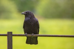Black crow bird sitting on a metal fence with green blurred background.
