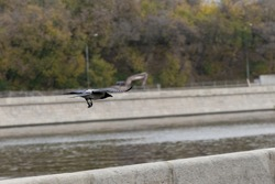 black crow flying away over the river