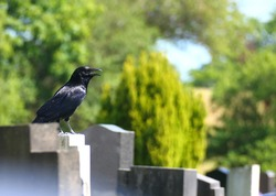 Black crow in cemetery sat on grave stone