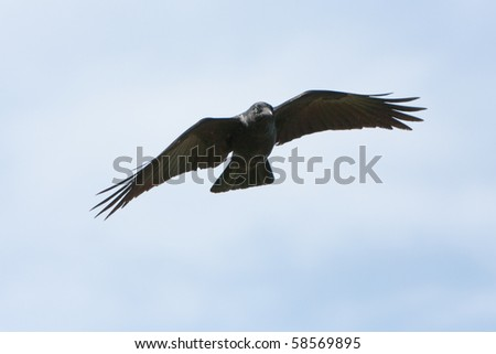 Black Crow in flight with spread wings