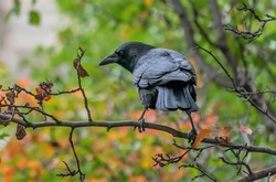 Black Crow In The Chicago Autumn Tree