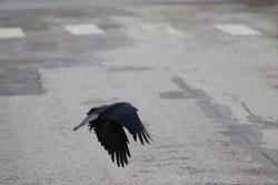 Black crow in the flight. Road, zebra crossing, urban, bird, animals, movements.