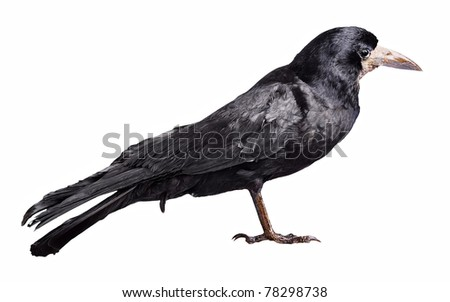 Black crow isolated on white background