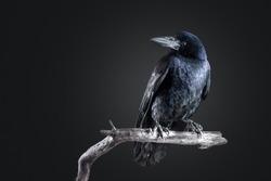 black crow portrait close up