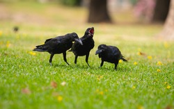 Black crow screams loudly while its friends were foraging on the grass.
