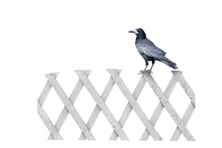 black crow sitting on a white fence, isolated on a white background.  design element.  clipart for halloween.
