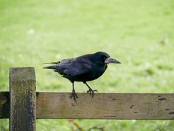 Black crow sitting on the fence