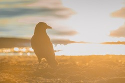 Black Crow standing on the sand on the beach with strong afternoon or evening sun just setting behind it.