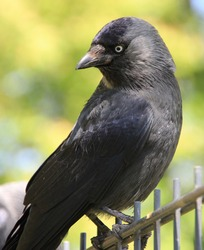 Black Crow trying to find the food