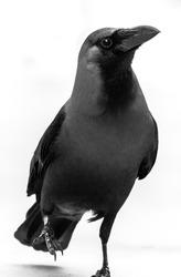 Black crow Walking on white Isolated background. High key crow bird photo