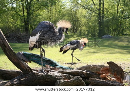 Black Crowned Crane in Munich zoo