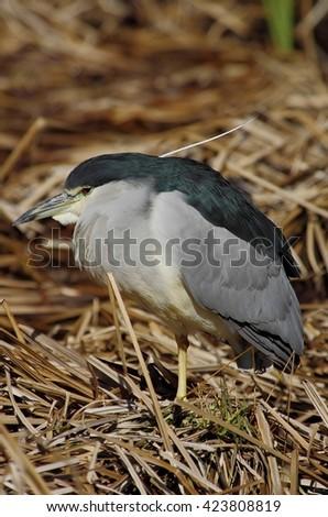 Black-crowned night heron  #423808819