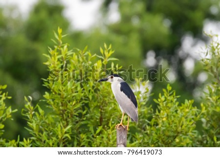 Black Crowned Night Heron bird in black white perch on wooden stick at mangrove in Thailand, Asia (Nycticorax nycticorax)