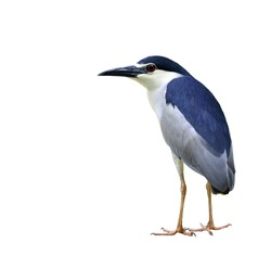 Black-crowned Night Heron bird standing on the ground isolated on white background (nycticorax paddies)