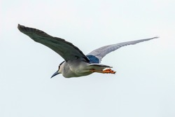 Black Crowned Night Heron in Fight Blue Sky (Nycticorax nycticorax)