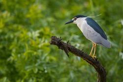 Black-crowned night heron in Hungary