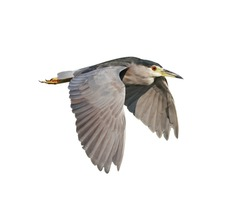 Black Crowned Night Heron (Nycticorax nycticorax) in flight