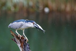 Black-crowned Night Heron (Nycticorax nycticorax) on a branch eating a big fish