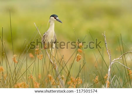 Black-crowned Night Heron (Nycticorax nycticorax). Patagonia, Argentina, South America.