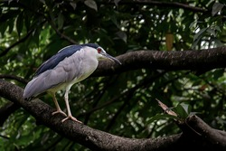 Black-crowned night heron resting on the tree branch
